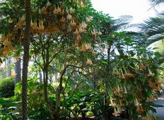Brugmansia at Lotusland