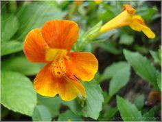 Monkey flower 'Highland Orange' / Mimulus 'Highland Orange' / Губастик
