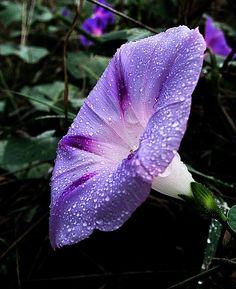 Morning Glory (Ipomoea purpurea)