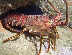 15.000 Bibit Lobster Gagal Diselundupkan Di Bandara Soekarno- Hatta