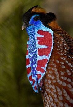 Temminck's Tragopan from South Asia
