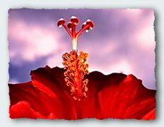 Awesome hibiscus shot