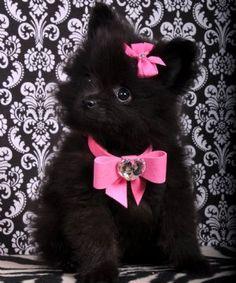 Teacup Pomeranian Princess
