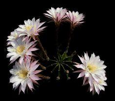 Echinopsis oxygona (Link