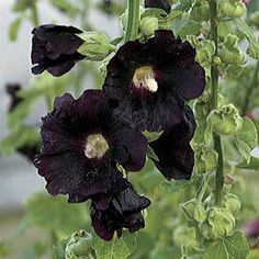 Give your yard an old-fashioned touch with Hollyhock plants from Bluestone Perennials. Find perennial Hollyhock that will remind you of childhood. Tall Flowers, Black Flowers, Single Flowers, Unique Flowers, Amazing Flowers, Pink Flowers, All Plants, Water Plants, Garden Plants