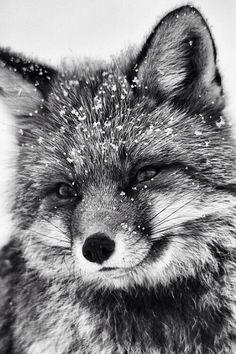 #black_&_white #fox #snow