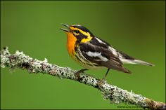 Warbler Bird | Greg Schneider… Birds Wood-Warblers Blackburnian Wa… Blackburnian ...
