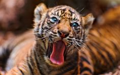 High Resolution Wallpaper tiger