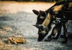 Painted dog pups are very inquisitive and will check out anything and everything as part of the learning process African Wild Dog, Wild Dogs, Learning Process, Fine Art Paper, Tortoise, Pup, Fine Art Prints, Wildlife, Canvas Art