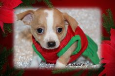 """Fairytailpuppies """"where pets are family too - TANAIRY"""