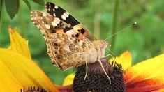 Kuvia neljästä vuodenajasta: TÄRKEÄ Moth, Butterflies, Insects, Flowers, Animals, Animales, Animaux, Butterfly, Animal