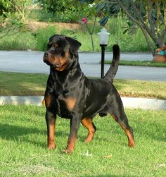 Rottweiler love the attention stance