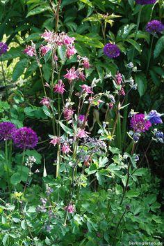Frühlingsszene mit Akelei und Zierlauch, Aquilegia and Allium