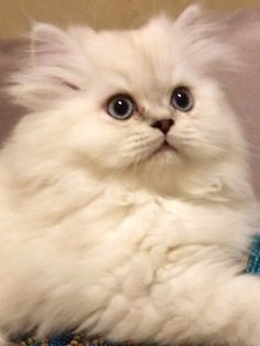 Beautiful CFA white with Lynx points Persian kitten