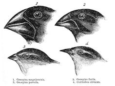 Giclee Print: Four or the Species of Finch Observed by Darwin on the Galapagos Islands : Wall Art Prints, Fine Art Prints, Canvas Prints, Framed Prints, Avatar, Natural Selection, Charles Darwin, Galapagos Islands, Divergent
