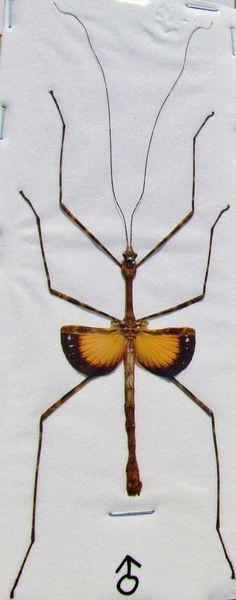 Flying Stick Pseudodiacantha macklottii Male Spread FAST SHIP FROM USA