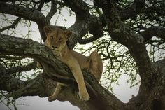 Lioness in Tree, Lake Manyara National Park, Tanzania