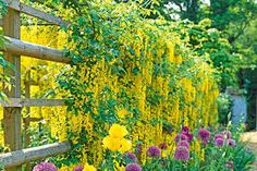 Image result for potted climbing plants for hyderabad