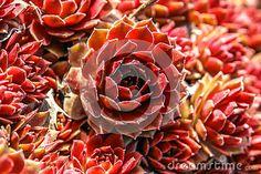 Sempervivum with red flowers in garden.