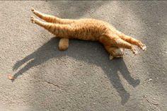 Rigormortis OR Kitty Pilates? Funny Cats, Funny Animals, Cute Animals, Crazy Cat Lady, Crazy Cats, I Love Cats, Cool Cats, Orange Cats, Tier Fotos