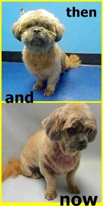 SAFE 5-12-2016 --- SUPER URGENT Brooklyn Center MAX – A0910183  **RETURNED 05/10/16**  NEUTERED MALE, TAN, LHASA APSO MIX, 11 yrs OWNER SUR – ONHOLDHERE, HOLD FOR ID Reason HOME SIZE Intake condition EXAM REQ Intake Date 05/10/2016 http://nycdogs.urgentpodr.org/max-a0910183/