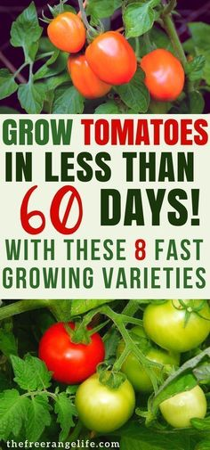 Grow tomatoes in your garden in no time with these 8 fast-growing early tomato varieties. Gardening Tips | Growing Tomatoes | Vegetable Gardening for Beginners #gardenforbeginnersideas #vegetablesgardening #growvegetables