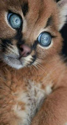 "The name Caracal is stemmed from a Turkish word ""karakulak"" suggesting ""black ear."" The Caracal was as soon as educated for bird searching in Iran as well as India. Animals And Pets, Baby Animals, Funny Animals, Cute Animals, Wild Animals, Cute Kittens, Cats And Kittens, Beautiful Cats, Animals Beautiful"