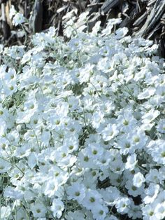 Snow-in-summer: sun loving, ground cover. a good candidate for the side yard.