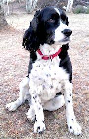 English Springer Spaniel dog for Adoption in Shakopee, MN. ADN-553777 on PuppyFinder.com Gender: Male. Age: Adult