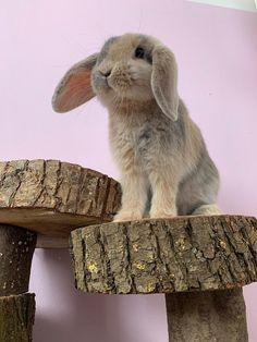 House Rabbit, Pet Rabbit, Cute Wild Animals, Animals And Pets, Bunny Room, Mini Lop, Cute Creatures, Cute Bunny, Guinea Pigs