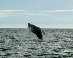 stunning whale in greenland