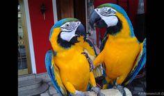 Coppia pappagallo ara Regalo  Cedo coppia di bellissimi pappagalli di 6 mesi quasi svrerzzato ara arlecchino e completo di documenti cites anello foi piu ara rauna di anni 2 con cites piu anello Parrot, Bird, Italia, Parrot Bird, Birds, Parrots, Birdwatching