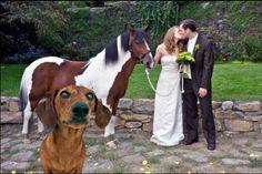wedding crasher ammo the dachshund