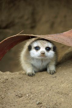 Such a cute photo of the meerkat pup born here in the summer.
