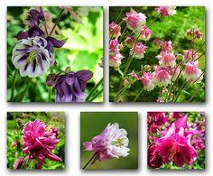 -neuer Gartentraum  Akeleien