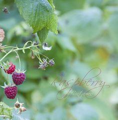 Raspberry by Cintamani by Cintamani