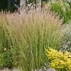 Feather Reed Grass 'Eldorado' #outdoorideaslandscaping