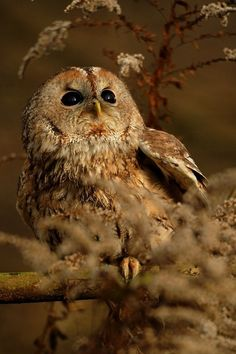 Looking at the Sun // Tawny Owl // Chouette Hulotte - Beautiful Owl, Animals Beautiful, Cute Animals, Owl Photos, Owl Pictures, Owl Bird, Pet Birds, Nocturne, Rapace Diurne