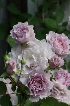 ニューウエーブ Most Beautiful Gardens, Beautiful Roses, Exotic Flowers, Pretty Flowers, Cottage Garden Plants, Love Garden, Orchid Plants, Love Rose, Colorful Garden