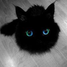Blue eye black cat