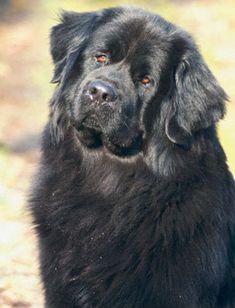 Ньюфаундленд — огромный лохматый дружелюбный пес. В России его часто называют водолазом. Минимальная высота в холке для кобеля — 71 см, вес — от 68 кг. Седьмое место.