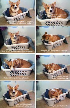 corgiaddict: The tragedy of the laundry basket.