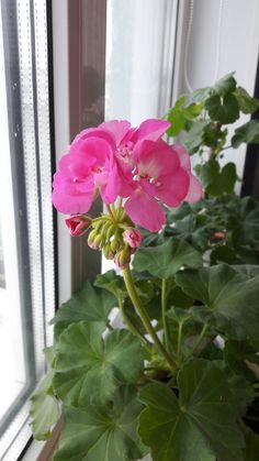 Pink Geranium, Cottage, Gardening, Life, Gardens, Geraniums, Flowers, Plants, Cottages