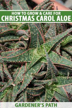 How to Grow Christmas Carol Aloe: Anti-Sting and Makes You Sing!