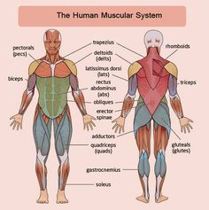 finally, a muscle chart for the woman's body with major muscle, Muscles