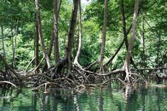 will be making mangrove roots like this for tank