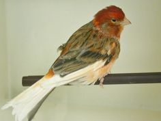 Pin on Exotic Pets Zoology, Exotic Pets, Beautiful Birds, Serin, Finches, Awesome, Animals, Birds, Canary Birds