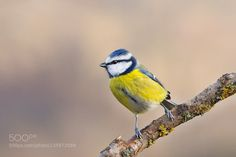 Blue tit by frank742 via http://ift.tt/1ZuG8Gl