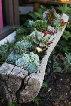 Succulents. In a wood log planter.