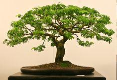 Tamarind Bonsai… wonderful…just like a tree on the savannah
